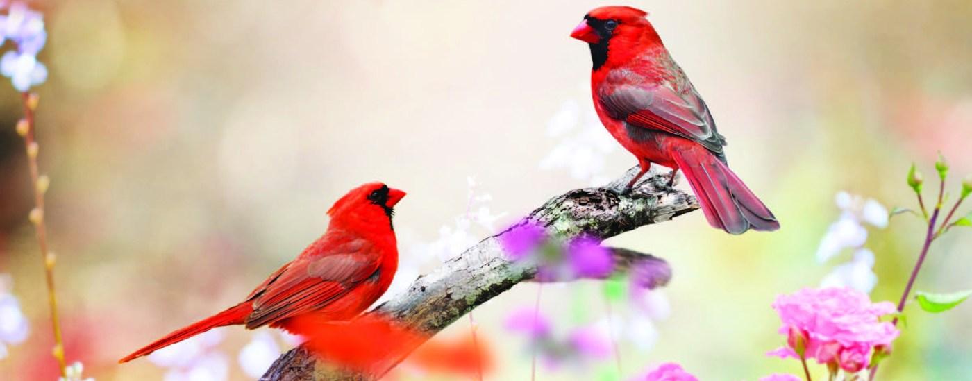 May dalawang cardinal na ibong na nakaupo sa isang sanga na napapaligiran ng mga bulaklak