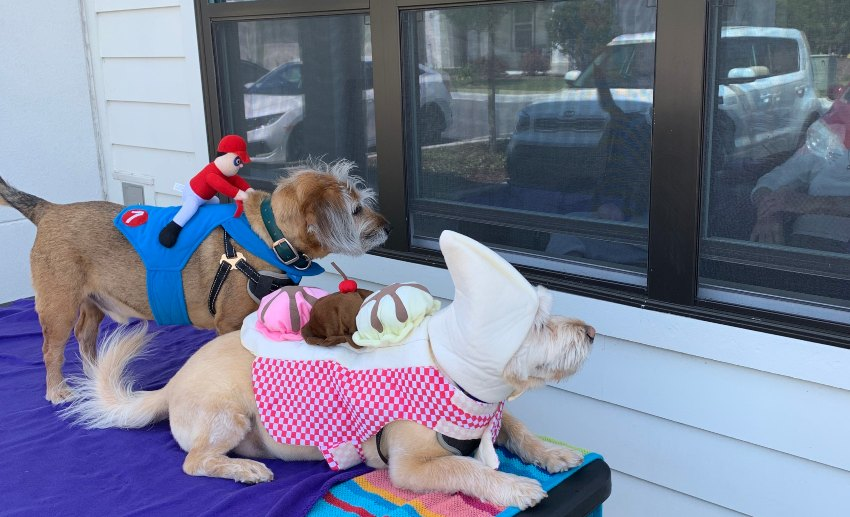 Paw Pals dog volunteers Kermit and Buster peer into a window for patients to see